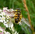 Myathropa florea. Syrphidae - Flickr - gailhampshire (3).jpg