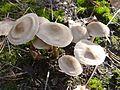 Mycena galericulata a4 (2).jpg