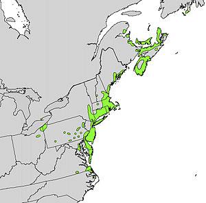 Myrica pensylvanica - Image: Myrica pensylvanica range map