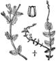Myriophyllum alterniflorum BB-1913.png