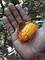 Myristica malabarica, Malabar Nutmeg, wild Nutmeg. കാട്ടുജാതി.jpg