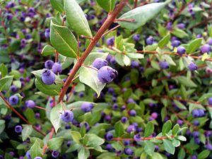 Myrtus communis - Image: Myrtus communis Fruits Closeup Dehesa Boyal Puertollano