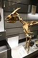 Mytragus skeleton (39821732424).jpg
