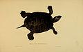 N170 Sowerby & Lear 1872 (malaclemys terrapin).jpg