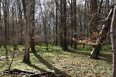 NSG HA 00053 Haseder Busch - Wald (6).jpg
