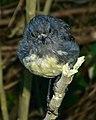 NZ Robin (8456328487).jpg
