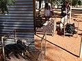 Namibia 2017-06 (041) Swakara-Lämmer während der Zuchtauswahl.jpg