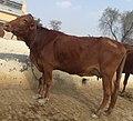 Nari-master-cow.jpg