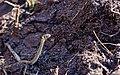 Nastik - Grass snake - Natrix natrix (6).jpg