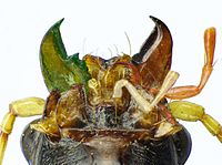 Nebria livida mouth parts.jpg