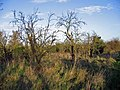 Neglected Orchard near Wisbech - geograph.org.uk - 313127.jpg