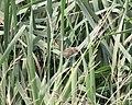 Nelson's Sparrow, McCool's Pond, Indiana, September 29, 2012 (8039550385).jpg