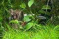 Neocaridina heteropoda, Danio margaritatus, Echinodorus tenellus.jpg