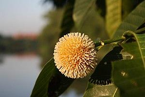 Neolamarckia cadamba - Close-up of flower