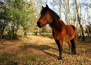 New Forest -  New Forest pony