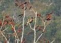 New Guinea Friarbird, Philemon novaeguineae (48704506788).jpg