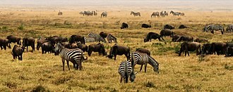 Blue wildebeest - Plains zebra and blue wildebeest grazing at Ngorongoro Crater