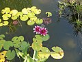 Nikita, Crimea, Water lilies in pond.jpg
