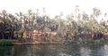 Nile date palms (3647296182).jpg