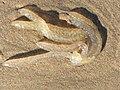 Noordwijk aan Zee - Gewone pijlinktvis (Loligo vulgaris).jpg