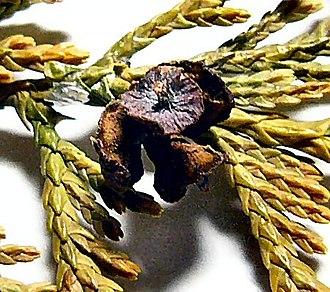 Cupressus nootkatensis - Image: Nootka Cypress cone