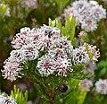 Northern Spiderhead (Serruria fucifolia) (32124577804).jpg