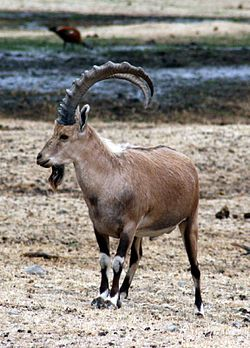 Nubian Ibex, July 08.jpg