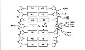 DNA-3-methyladenine glycosylase - Schematic diagram of hAAG-DNA contacts