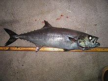 рыба масляная фото и описание