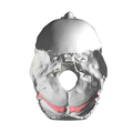 Occipital bone - Groove for transverse sinus - superior view.png