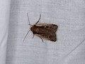 Ochropleura plecta (36209044173).jpg