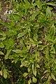 Ocimum basilicum - Agri-Horticultural Society of India - Alipore - Kolkata 2013-01-05 2274.JPG