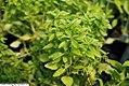 Ocimum basilicum Minette 2zz.jpg