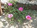 Ocna Sibiului, flori de nisip 2.jpg
