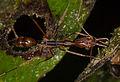 Odontomachus sp. (15870338999).jpg