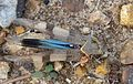 Oedipoda caerulescens. Acrididae. Oedipodinae - Flickr - gailhampshire (1).jpg
