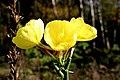Oenothera biennis ENBLA10.jpg
