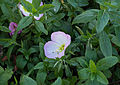 Oenothera speciosa Rosea.jpg