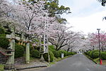 Ogi park Sakura.JPG