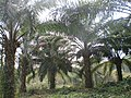 Oil palm Plantation (3).JPG
