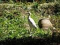 Oiseaux d'Egypte - panoramio (7).jpg