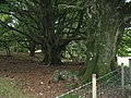 Old Beech trees - geograph.org.uk - 596817.jpg