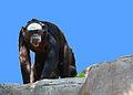 Old Chimpanzee (3355094831).jpg