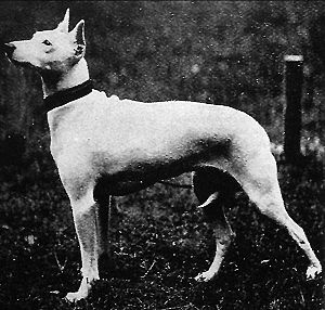 Old White English Terrier