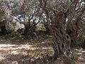 Olea europaea Grove Wardija Ridge Malta 08.jpg