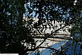 Olea europea 9zz.jpg