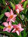 Oleander - Nerium oleander - panoramio.jpg