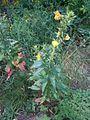Onagre,Oenothera, sundrops (4828096112).jpg