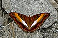 Open wing basking of Parasarpa zayla Doubleday, 1848 – Bicolor Commodore WLB DSC 0390.jpg