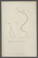 Ophiostoma lepturum - - Print - Iconographia Zoologica - Special Collections University of Amsterdam - UBAINV0274 104 06 0005.tif